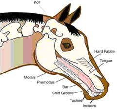 Diagram of a horses mouth