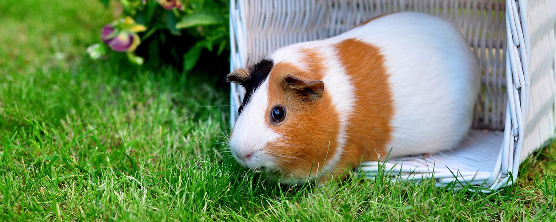 guinea-pig-dating-service